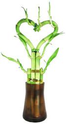 Live Heart Shape Bamboo Plant